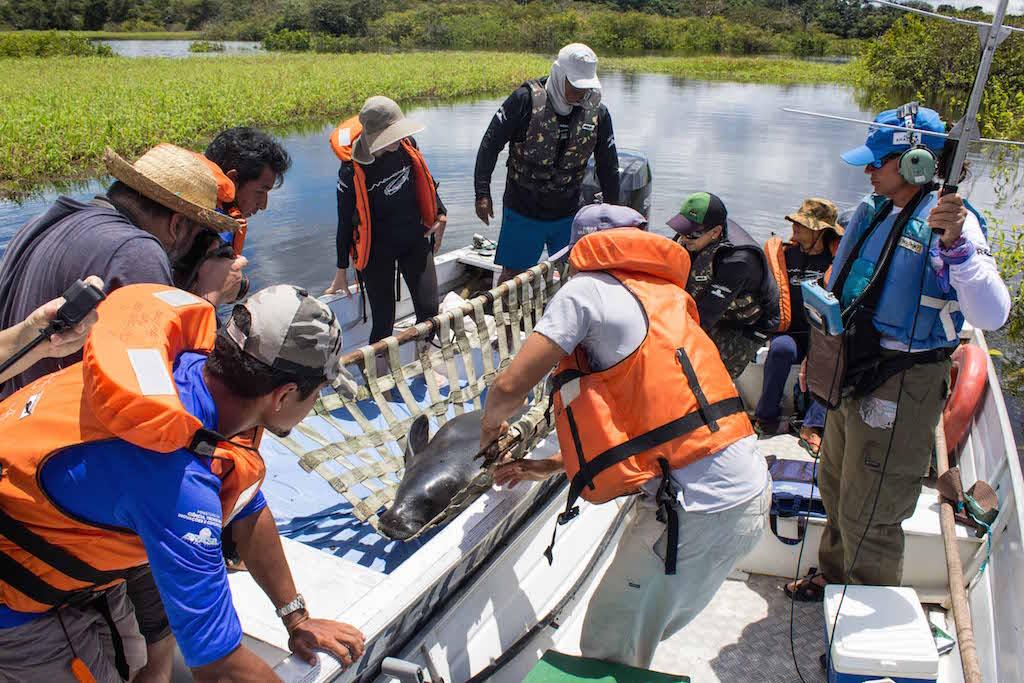 Depois de sete anos de cuidados, pelo Instituto Mamirauá, peixe-boi amazônico é solto em vida livre